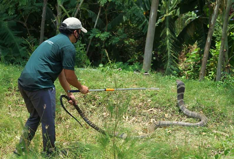202005261025566742 King cobra released into Cherukupalli forest after being SECVPF