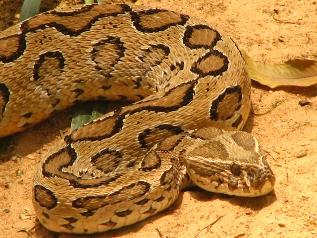 RUSSELL VIPER